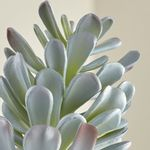Rama-de-Suculenta--Dusty-Sedum--Artificial